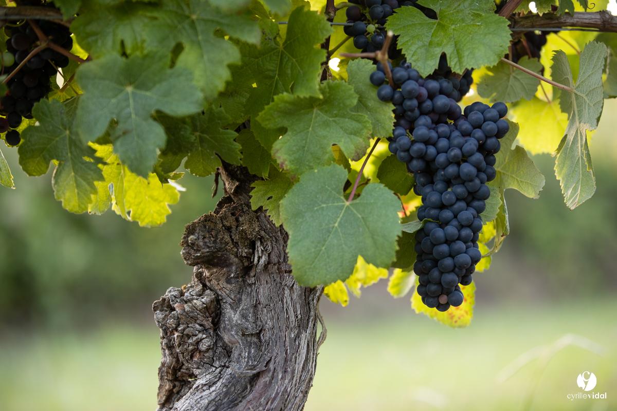 les raisins vin de Tursan